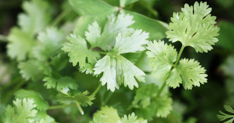 fresh-coriander-leaves-in-a-roof-top-garden-f4-AMB-download-yoyo